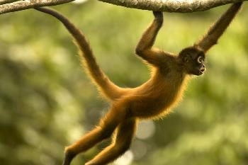 spider-monkey-facts