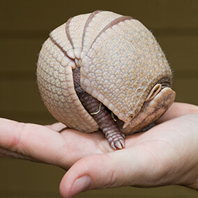 unique_armadillo-ball